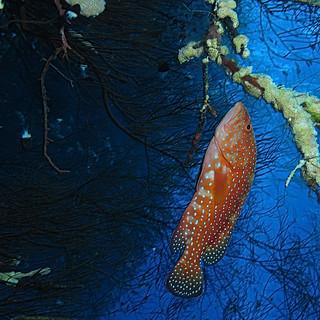Coral hind, Cephalopholis miniata presumably