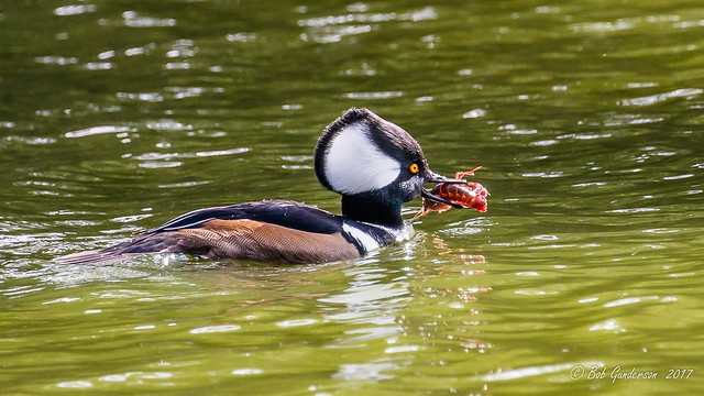 Hooded Merganser (m)