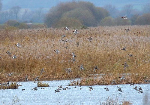 Wigeon and teal