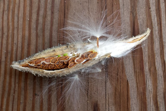 closeup of one open milkweed pod with white lines and three green spots within the brown seeds