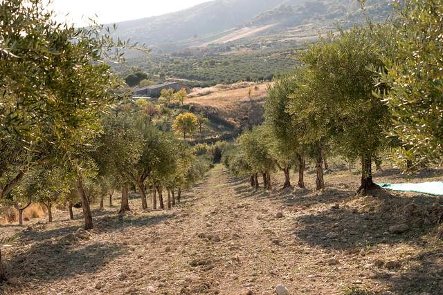 Olive trees.