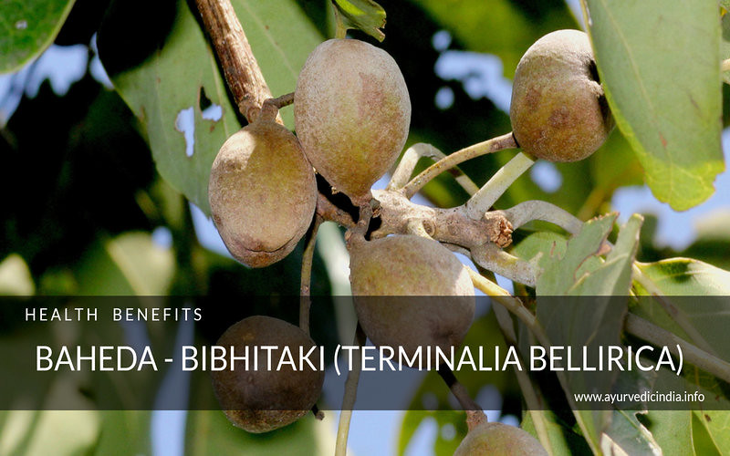 Baheda – Bibhitaki (Terminalia bellirica) Health Benefits and Uses (2)