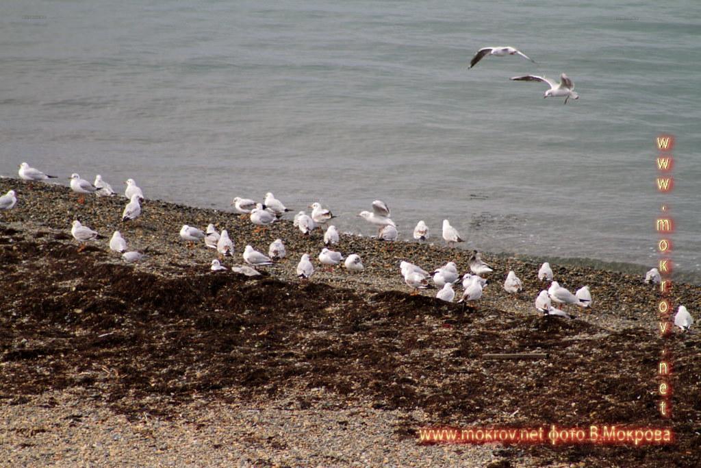 Чайки в Анапе.