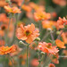 Geum Flowers  Totally Tangerine