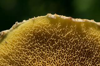 Suillus americanus
