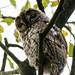 Tawny Owl 2 (Strix aluco)