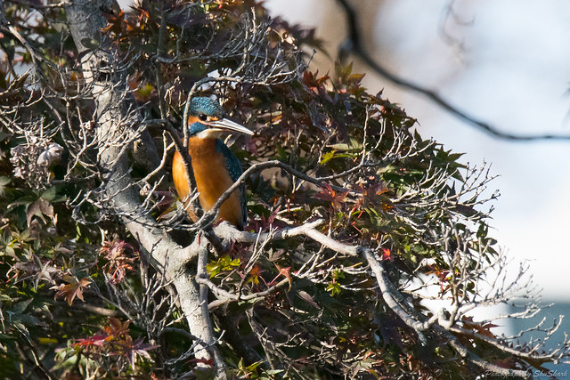 20171113-kingfisher-DSC_7618