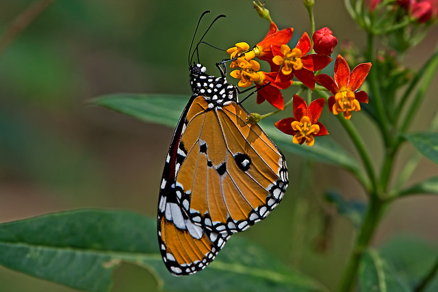 Danaus chrysippus - the Plain Tiger (male)