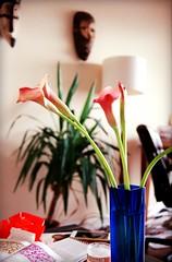 Still life: Calla Lily in blue Japanese vase
