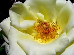 ROSES et leur beauté...