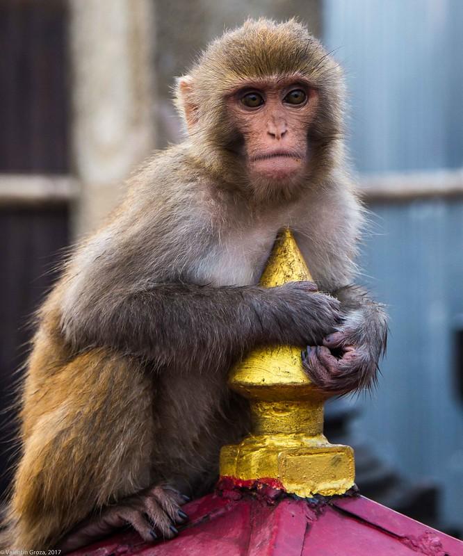 in Kathmandu_14 monkey