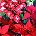 Poinsettias — Photo Courtesy Brian Wheat, AAF, PFCI, of Lafayette Florist, Gift Shop & Garden Center in Lafayette, Colorado. www.lafayetteflorist.com