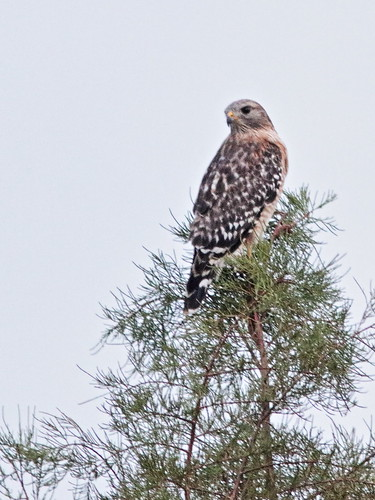Red-shouldered hawk 02-20171124
