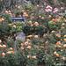 Windsor - Rose Petals