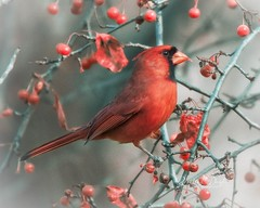 Cardinal for Christmas