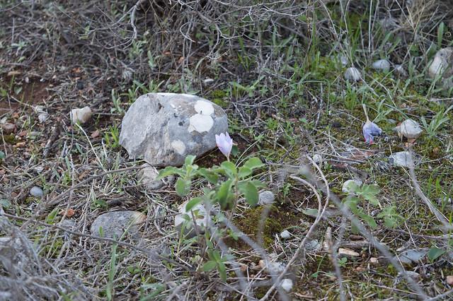 Άγριος κρόκος στην Ψίνθο - Crocus turnefortii