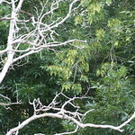 Fraxinus uhdei leaves and seeds