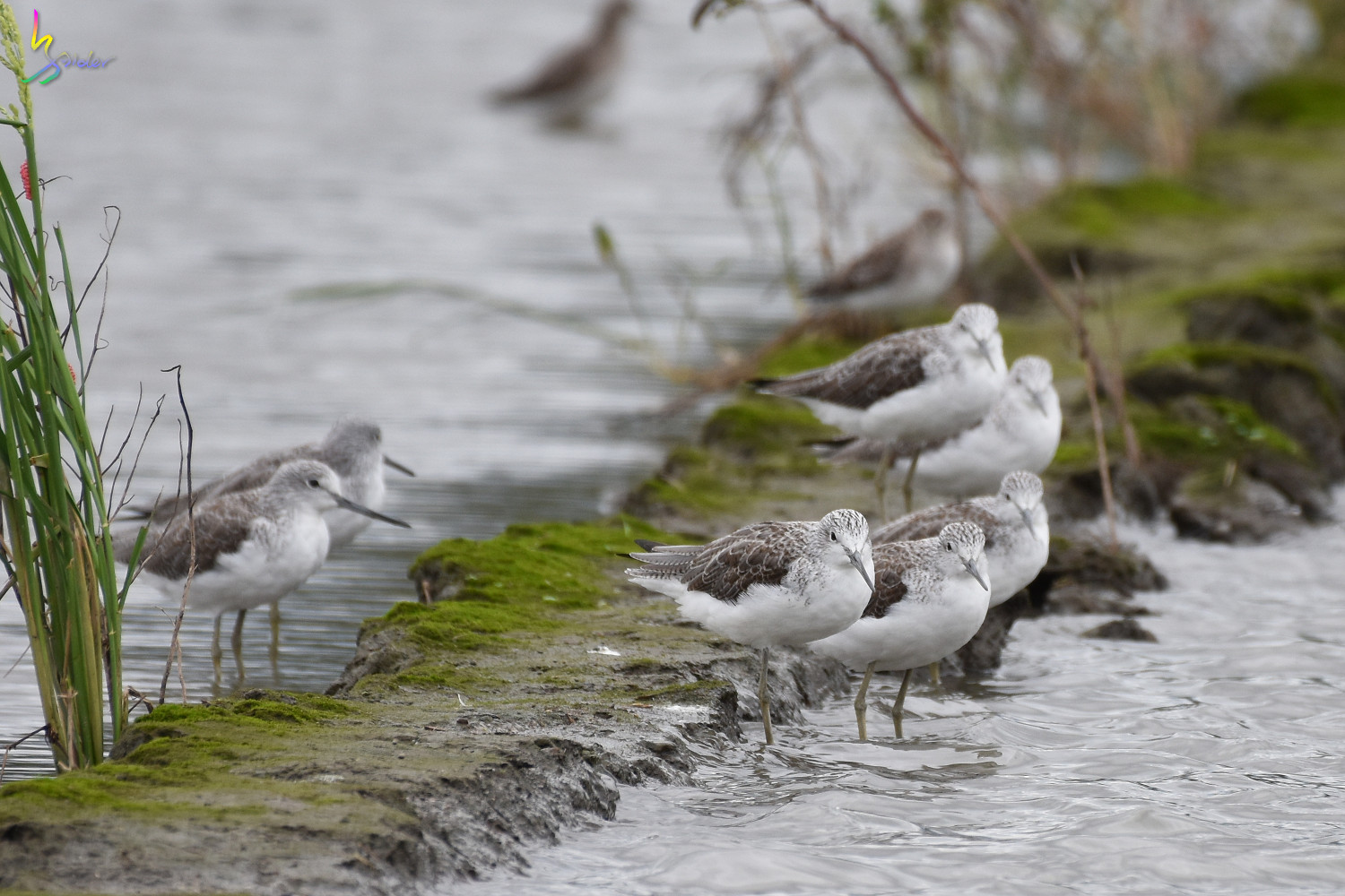 Common_Greenshank_9162