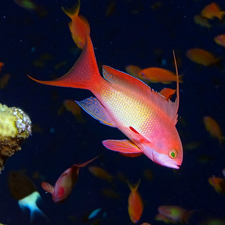 Anthias - sea goldie -  at Little Brother, Red Sea - p 2