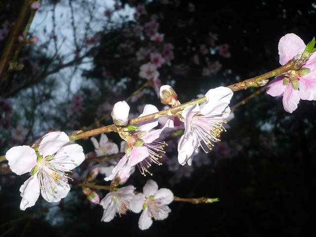 Nectarine blossoms, Panasonic DMC-LS70