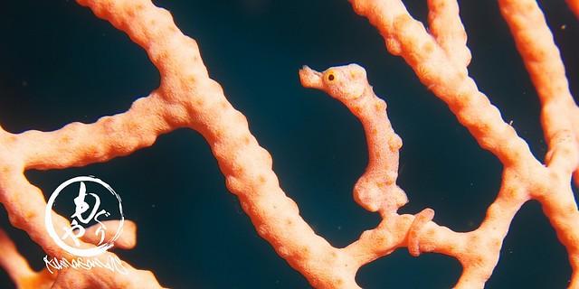世界で初めてパプアニューギニアで発見されたんだよ。ピグミーシーホース(過去写真)
