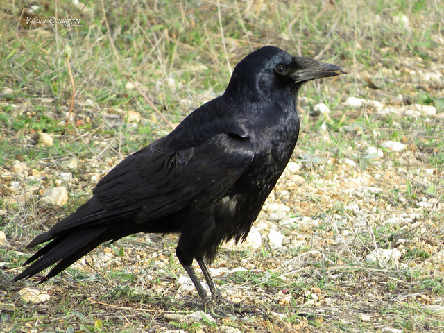 Young Rook (Corvus frugilegus)
