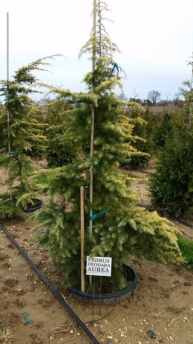 Cedrus deodora Aurea 10 gal 6-7' | by Johnson Farms