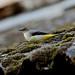 Grey Wagtail ------Motacilla cinerea