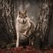 Shilly the wolfdog