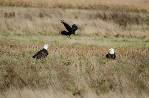Eagles and Crow-1