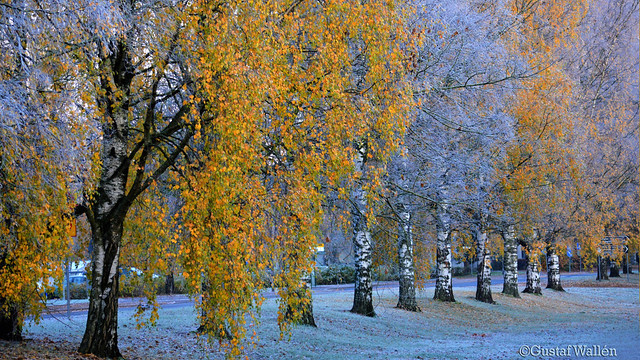 Golden autumn leaves with dusting of snow.