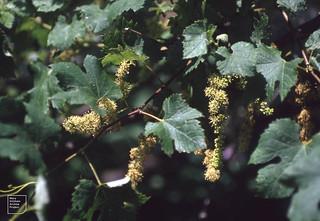 Wild vine. Vitis vinifera. Camargue hedge. 1991