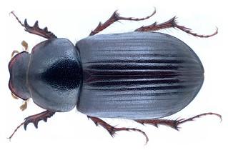 Anomius castaneus (Illiger, 1803) Syn.: Aphodius (Pseudacrossus) castaneus Illiger, 1803