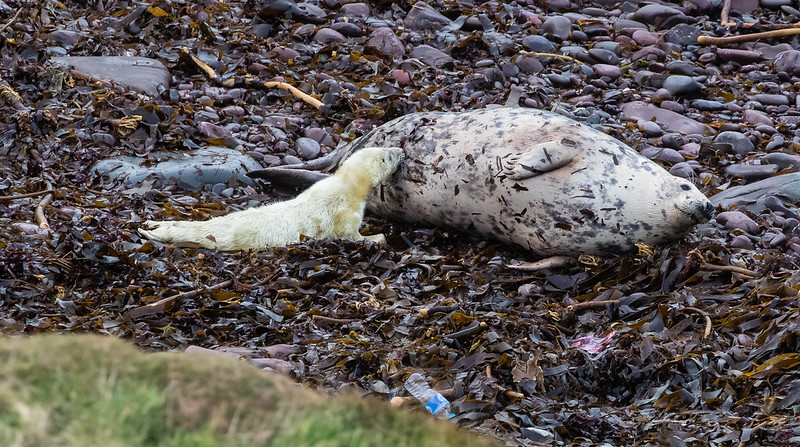 Grey Seal and Pup.139a_1469