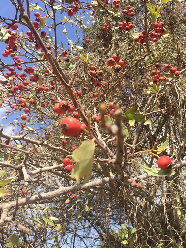 Red Hawthorne Berries