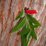 Eucalyptus robusta leaf and bark