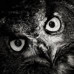 Eagle Owl #2