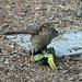 IMG_3441 Sparrowhawk & Parakeet