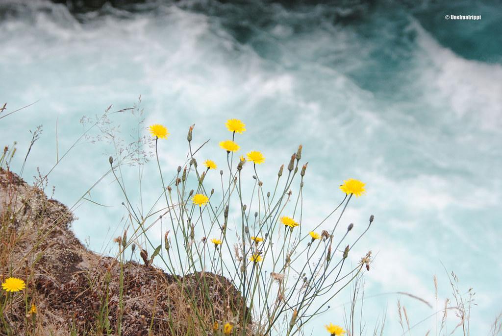 Keltaisia kukkia joentörmällä, Huka Falls, Uusi-Seelanti