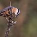 Sittelle torchepot - Sitta europaea - Eurasian nuthatch