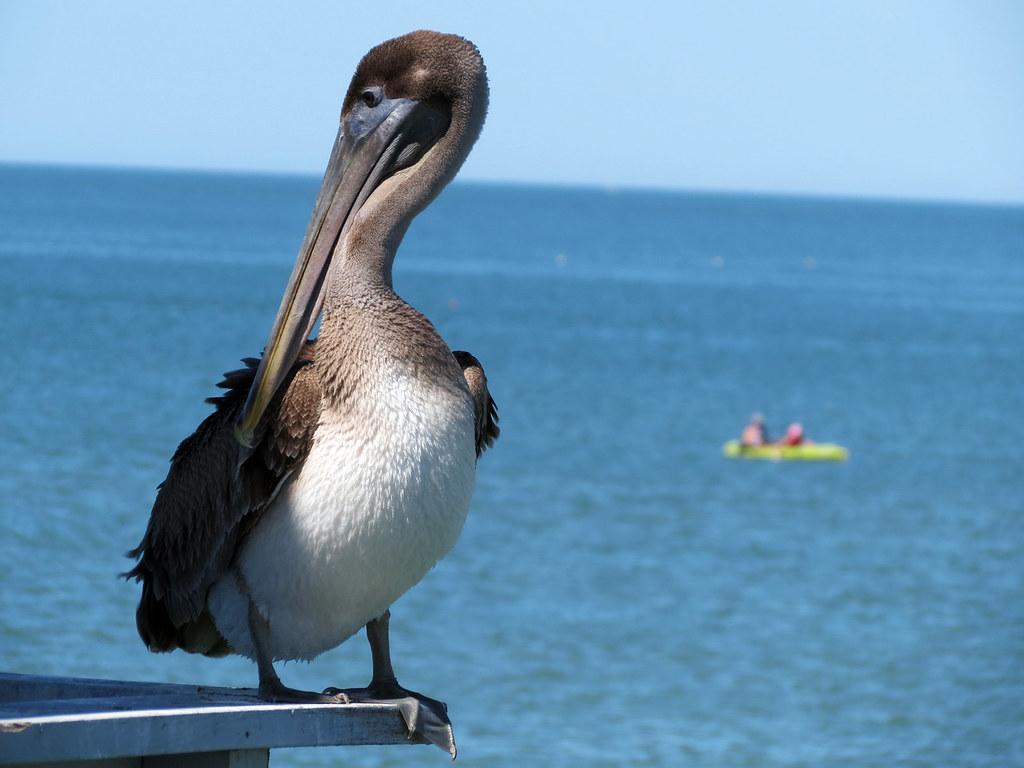 Pelican   Pier 60 on Clearwater Beach, Florida   meeko_   Flickr