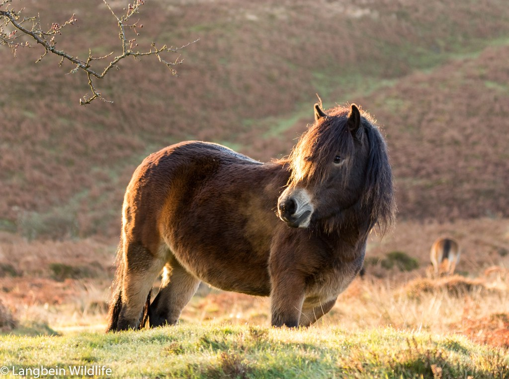c618305c8d Eventually I spotted a few of the hardy Exmoor ponies