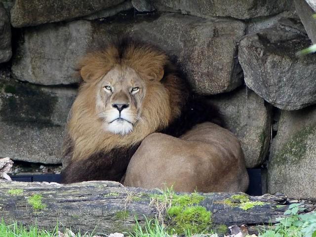 Löwe, Hellabrunn