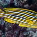 Ribbon Sweetlips - Plectorhinchus polytaenia