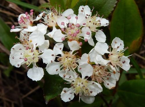 Black Chokeberry (Aronia melanocarpa)