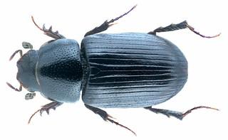 Mecynodes striatulus (Waltl, 1835) Female  Syn.: Aphodius (Mecynodes) striatulus Waltl, 1835