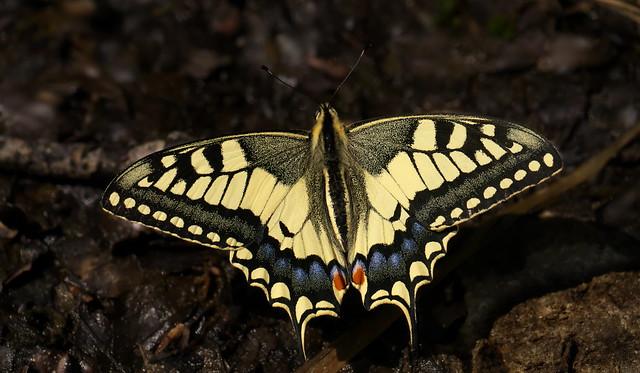 Papilio machaon, Meyrueis, Les Cévennes, France