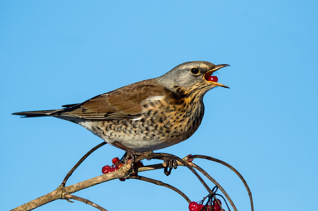 fieldfare:berry