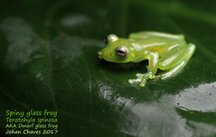 Spiny glass frog