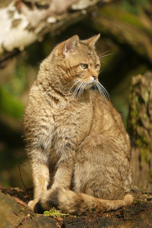Wildkat in Duisburg